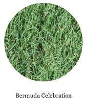 bermuda and celebration grass